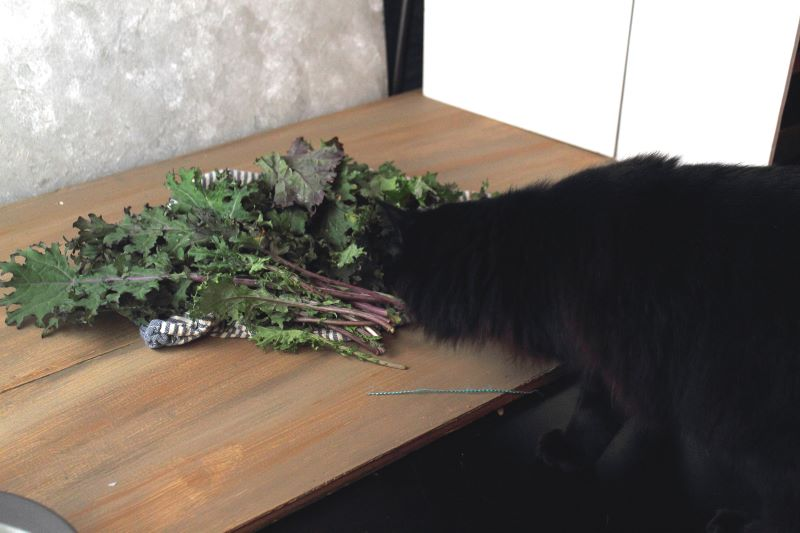 Kale thief kitten