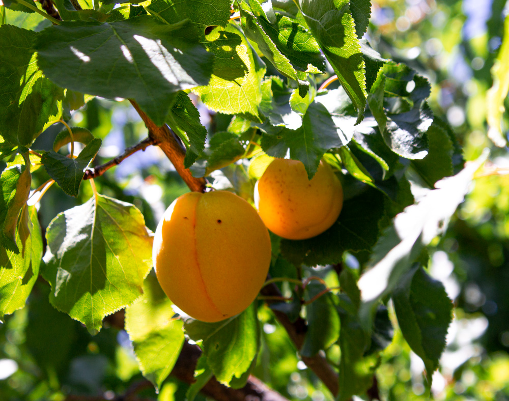 2 apricots hanging in tree